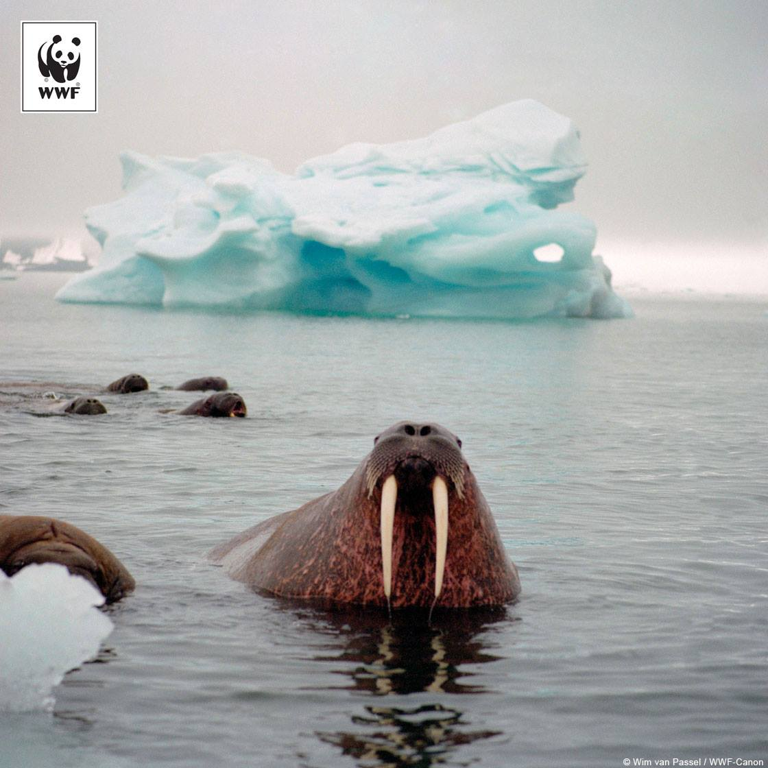 share the arctic walrus